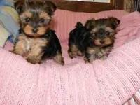 Hello I have 2 Yorkies 1 male 1 female healthy playful