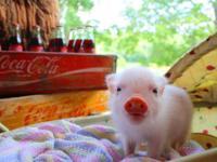 Micro Mini Pigs Arriving Soon! Oinker News Update....