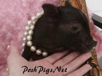 MICRO NANO TEACUP PIGLETS---DON'T be fooled by