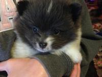 Itty bitty Pomeranian male. He needs to stay around