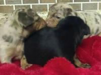 5 beautiful pinchi pups will be ready for there new