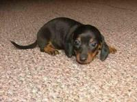 Tcup Chiweenie female puppy for sale to a good loving