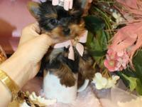 TINY FEMALE YORKIE TEACUP PUPS. FITS IN THE PALM OF