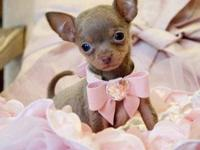 Micro Teacup Blue Chocolate Chihuahua Princess. She is