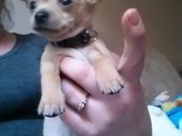 i have 2 male teacup chihuahua puppys 3 months old,