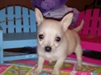 Micro Teacup Chihuahua puppies, 8wks, tiny under 1lb, 3