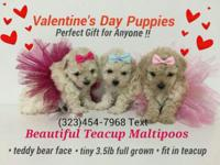 Bonus Tiny TEACUP MALTIPOO Puppies Beautiful extra