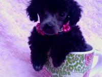 We have a litter of stunning poodles. They have
