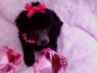 This little teacup poodle was born at just 2ounces. She