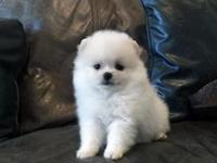 AKC Micro Tiny White Male Pom, fluffy and soo sweet,
