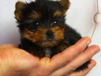 Tiny micro young puppies. Ladies are 11 oz and 14 oz,