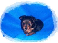 Tiny Micro Teacup Yorkie Pom Puppy, Porkie. Black & &