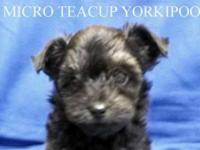 Micro Teacup Yorkipoo. Teacup Male. D.O.B.: 8/31/2014.