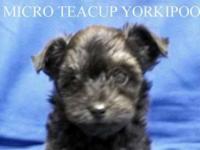 Micro Teacup Yorkipoo. Teacup Male. D.O.B.: 8/31/2014.