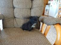 12 weeks old Mirco-teacup Yorkiepoo female. Adult