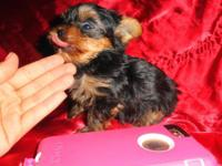 MICRO TEENY TINY TCUP LOUIE is ABSOLUTELY MAGNIFICENT &