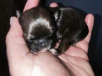 We are proud to announce the birth of 3 Shih Tzu
