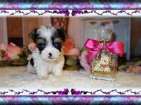 Gorgeous Micro Parti Yorkies Very Tiny! 2 Female Prices