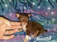 Super tiny chihuahuas! several available. prices from