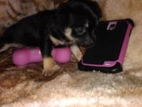 tiny teacup Chihuahua black and tan applehead will be 2