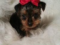 Cute tiny Yorkie female ready for her forever home.
