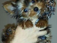 We have a puppy from one of the smallest Yorkies in the