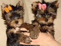 ��� Micro yorkie puppies ���  text  I have 4 Yorkies
