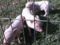 **Visit our website for current piglets and prices
