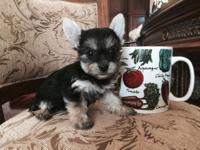 Tiny teacup Yorkshire terrier female. Black and Tan.