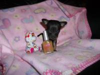 Super tiny micromini chihuahuas,2 females 1 male. Adult
