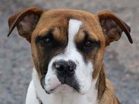 Midge's story I am a 5 month fawn female Boxer/Bulldog