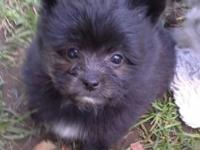 Midnight is 3/4 Pomeranian and 1/4 Yorkie. She should