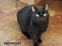 Midnight's story Midnight is a 12 year old DSH. His