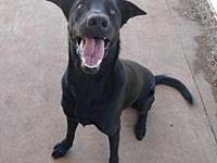 My story Midnight is a 2 yr old Lab/Shepherd mix. He