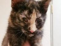 My story Mie is a female, Tortoiseshell Domestic Short