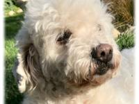 Mikala is a very smart 8-9 year, 19 lb old bichon who