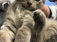 My story Mike-Bengal/DMH Silver Tabby male kitten, ~ 6
