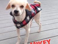Mikey is a 3-5 year old, male, Maltipoo. Hes a super