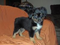 Miles is a black/tri male miniature australian