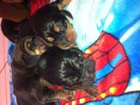""" Miley "" very pretty little girl Frenchton Daddy is a"