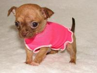 Meet baby Miley - a hand-raised Applehead Chihuahua new