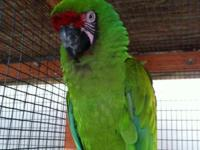 Big lovely healthy speaking army macaw available. He is