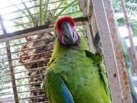 military macaw dna female, beatiful color and feathers