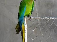 I HAVE PRETTY MILITARY MACAW VERY FRIENDLY , 1 YEAR 8