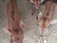 we have in stock now milk bottle calves for sale both