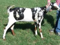 Nubian female goats 2 year and 3 years old, ready to