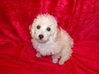 Millie is a creamy white toy poodle. Her DOB is