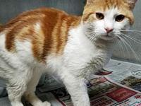 Milo's story I am a very handsome ginger and white cat,