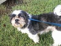 Milo's story Milo is a 2 year old Shih Tzu. He is a