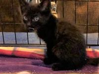 My story Milton is a male Domestic Shorthair, 10 weeks